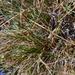 Carex nardina hepburnii - Photo (c) Игорь Поспелов, μερικά δικαιώματα διατηρούνται (CC BY-NC)