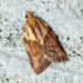 Light Brown Apple Moth - Photo (c) Ben Sale, some rights reserved (CC BY)