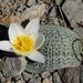 Tulipa regelii - Photo (c) vladimir_epiktetov, some rights reserved (CC BY-NC)