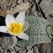 Tulipa regelii - Photo (c) vladimir_epiktetov, algunos derechos reservados (CC BY-NC)