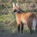 Λύκος Με Χαίτη - Photo (c) constanzamcl, μερικά δικαιώματα διατηρούνται (CC BY-NC)