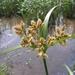 Bolboschoenus fluviatilis - Photo (c) eyeweed, osa oikeuksista pidätetään (CC BY-NC-ND)