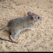 Bryant's Woodrat - Photo (c) Alan Harper, some rights reserved (CC BY-NC)