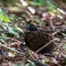 Black-breasted Wood-Quail - Photo (c) Julius Simonelli, some rights reserved (CC BY-NC)