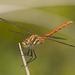 Sympetrum pallipes - Photo (c) Jim Johnson, algunos derechos reservados (CC BY-NC-ND)