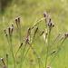 Verbena del Litoral - Photo (c) Nicolás Ramírez, algunos derechos reservados (CC BY)