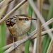 Wren-like Rushbird - Photo (c) Adrian Braidotti, some rights reserved (CC BY-NC)