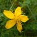 Hypericum perforatum perforatum - Photo (c) Colin Chapman-Lam, algunos derechos reservados (CC BY-NC)