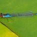 Erythromma viridulum - Photo (c) Felix Riegel, algunos derechos reservados (CC BY-NC)