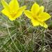 Tulipa uniflora - Photo (c) inessa_naturalist, algunos derechos reservados (CC BY-NC)