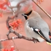 Bohemian Waxwing - Photo (c) Илья Сухов, some rights reserved (CC BY-NC)