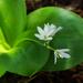 Clintonia udensis - Photo (c) ashitaka, algunos derechos reservados (CC BY-NC-SA)