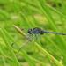 Indothemis limbata - Photo (c) Oleg Kosterin,  זכויות יוצרים חלקיות (CC BY)