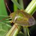 Piezodorus lituratus - Photo (c) Boris Loboda, algunos derechos reservados (CC BY-NC-ND)