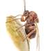 Gall Wasps - Photo (c) Miles Zhang, some rights reserved (CC BY-NC)