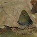 Calycopis bellera - Photo (c) Nelson Wisnik, algunos derechos reservados (CC BY-NC)