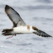 Small Shearwaters - Photo (c) Patrick Coin, some rights reserved (CC BY-NC-SA)