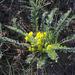 Astragalus buchtormensis - Photo (c) Aleksandr Popov / Александр Попов,  זכויות יוצרים חלקיות (CC BY-NC)