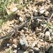 Aspidoscelis velox - Photo (c) Logan Crees, μερικά δικαιώματα διατηρούνται (CC BY-NC)