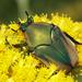 Cotinis mutabilis - Photo (c) Logan Crees,  זכויות יוצרים חלקיות (CC BY-NC)