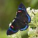 Necyria bellona - Photo (c) Jim Johnson, algunos derechos reservados (CC BY-NC-ND)