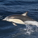 Short-beaked Common Dolphin - Photo (c) John Garrett, some rights reserved (CC BY-NC)