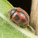 Novius cardinalis - Photo no hay derechos reservados