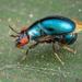 Celyphidae - Photo (c) Roman Prokhorov, μερικά δικαιώματα διατηρούνται (CC BY-NC)