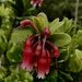 Macleania rupestris - Photo (c) dennisronsse, μερικά δικαιώματα διατηρούνται (CC BY-NC)