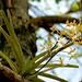 Vanda testacea - Photo (c) S.MORE, μερικά δικαιώματα διατηρούνται (CC BY-NC)