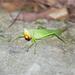 Pseudorhynchus - Photo (c) 더 그레이스, algunos derechos reservados (CC BY-NC)