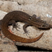 Sphaerodactylus notatus - Photo (c) J.D. Willson, algunos derechos reservados (CC BY-NC)