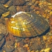 Alasmidonta undulata - Photo (c) Philippe Blais,  זכויות יוצרים חלקיות (CC BY-NC-ND)