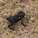 Melanophryniscus montevidensis - Photo (c) Natalie Raeber, μερικά δικαιώματα διατηρούνται (CC BY-NC-ND)