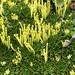 Azorella pedunculata - Photo (c) Cullen Hanks, some rights reserved (CC BY)