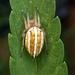 Alpaida rubellula - Photo (c) Nico Loñatz, algunos derechos reservados (CC BY-NC)
