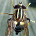 Three-lined Hover Fly - Photo (c) Phil Bendle, some rights reserved (CC BY-NC)