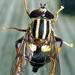 Helophilus seelandicus - Photo (c) Phil Bendle, algunos derechos reservados (CC BY-NC)