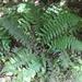 Polystichum oculatum × vestitum - Photo (c) Joe Potter Butler, μερικά δικαιώματα διατηρούνται (CC BY)
