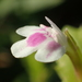 Bonnaya ciliata - Photo (c) 葉子, some rights reserved (CC BY-NC-ND)