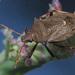 Picromerus bidens - Photo (c) Felix Riegel, algunos derechos reservados (CC BY-NC)