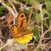 Lasiommata paramegaera - Photo (c) Jakob Fahr, algunos derechos reservados (CC BY-NC)