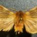 Neoarctia beanii - Photo (c) Doug Macaulay, μερικά δικαιώματα διατηρούνται (CC BY-NC)