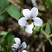 Northern Two-eyed Violet - Photo (c) snakeinmypocket, some rights reserved (CC BY-NC)