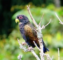 Loro Negro - Photo (c) Club de Observadores de Aves de Venecia, algunos derechos reservados (CC BY-NC)