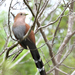 Squirrel Cuckoo - Photo (c) Roberto González, some rights reserved (CC BY-NC)