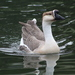 Domestic Swan Goose - Photo (c) Eli Diego Moreno, some rights reserved (CC BY-SA)