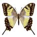 Mariposa Cometa Chinanteca - Photo (c) Gerardo Escobar, algunos derechos reservados (CC BY-NC)