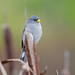 Band-tailed Seedeater - Photo (c) Josh Vandermeulen, some rights reserved (CC BY-NC-ND)