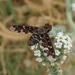 Exoprosopa jacchus - Photo (c) gailhampshire, μερικά δικαιώματα διατηρούνται (CC BY)